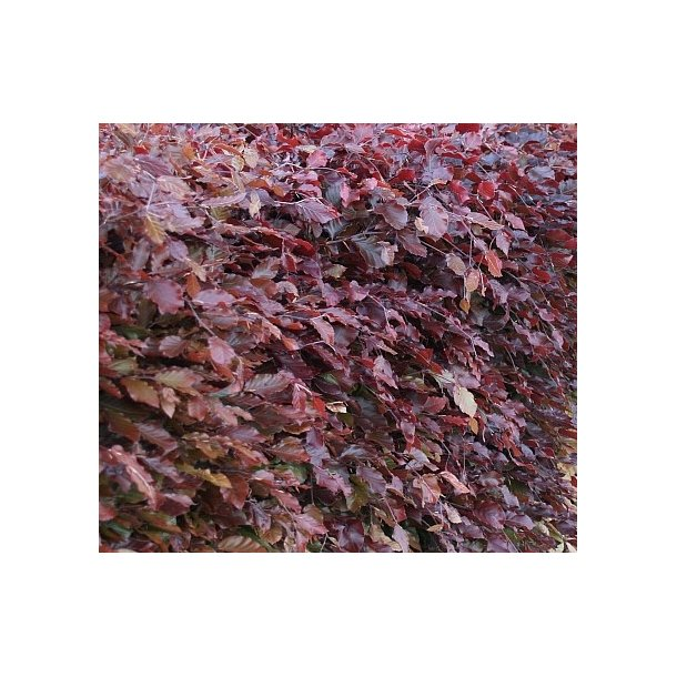 Rød Bøg 80 cm.