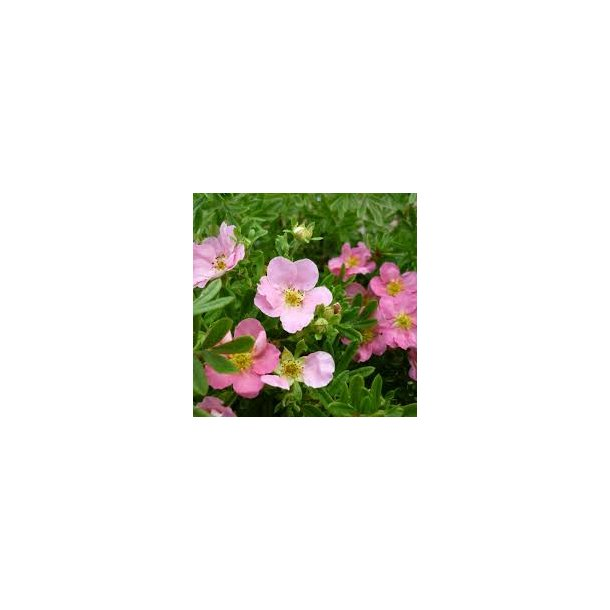 Potentilla '' Lovely Pink''
