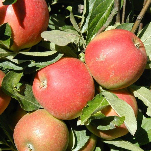 Elstar Æble