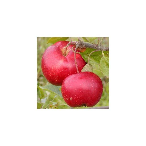 Ritt Bjerregaard Æble.