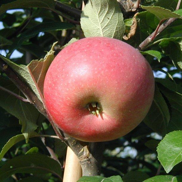 Rød Aroma Æble.